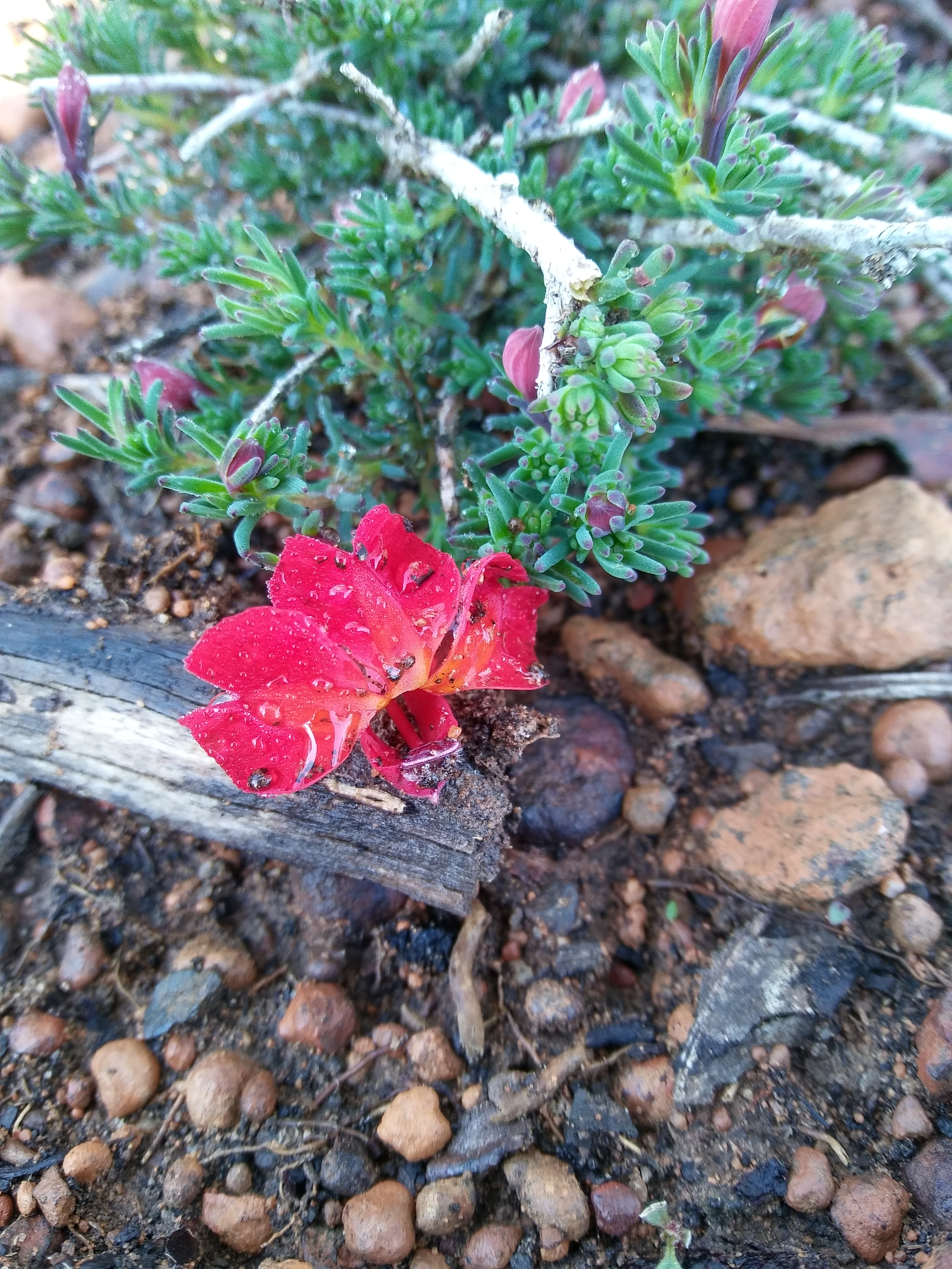 20180715_092443_HDRof my scarlet leschenaultia